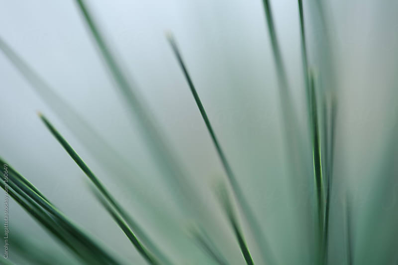 Close up of pine needles with a green background by Carolyn Lagattuta for Stocksy United
