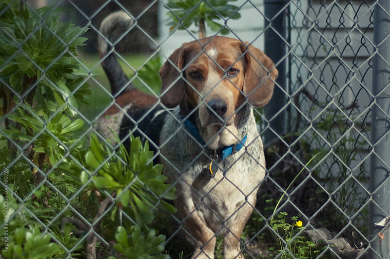 Beagle gazes out from behind chain link fence by Rachel Bellinsky for Stocksy United