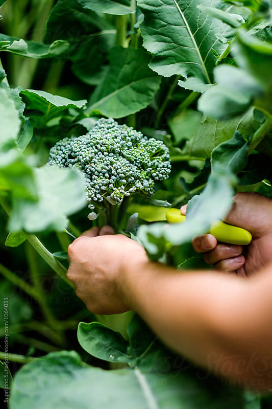 Harvesting organic broccoli planted on a raised bed by Suprijono Suharjoto for Stocksy United