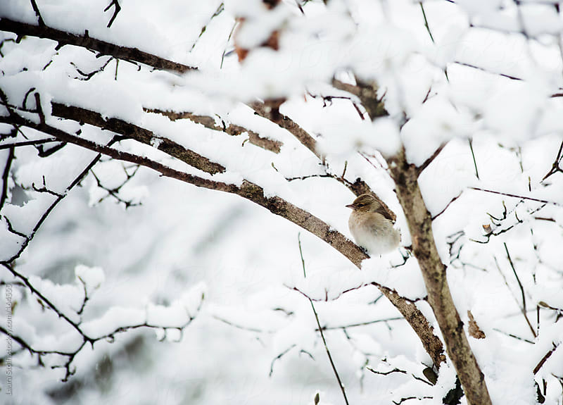 Bird perching on covered in snow shrub by Laura Stolfi for Stocksy United