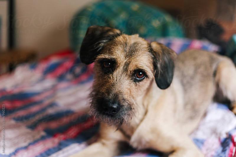 Portrait of a half breed dog indoor by Marija Kovac for Stocksy United