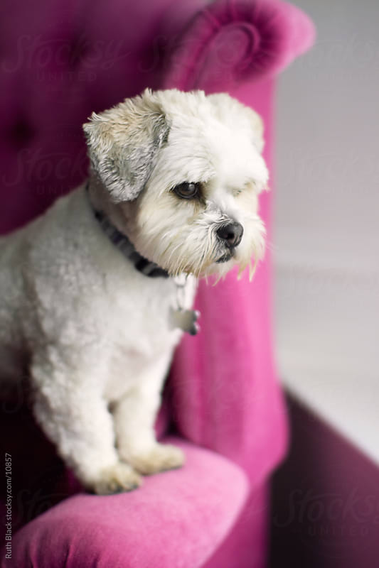 Lhasa apso on a pink chair by Ruth Black for Stocksy United