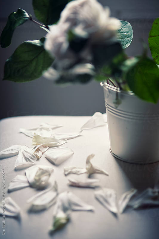 Fallen white rose petals by Ivan Bastien for Stocksy United