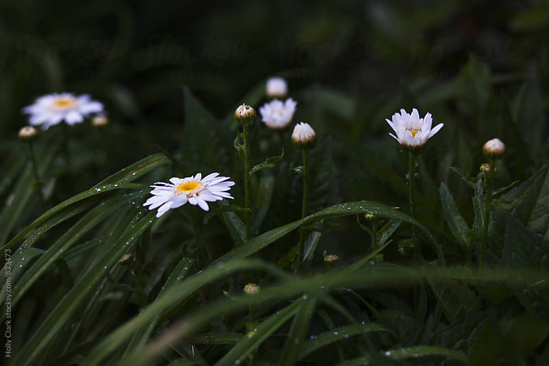 White daisies wet with rain. by Holly Clark for Stocksy United