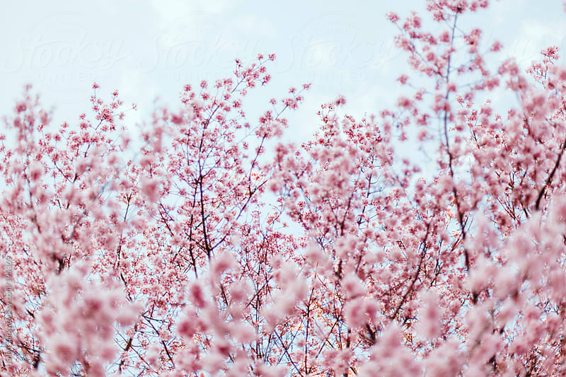 Beautiful Pink Cherry Blossom Branches against a Pale Blue Sky by Holly Clark for Stocksy United