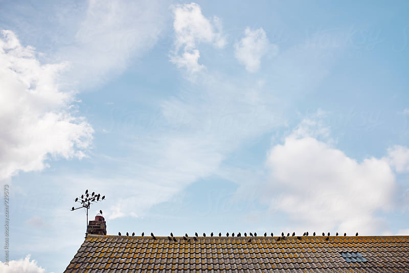 Starlings on a roof by James Ross for Stocksy United
