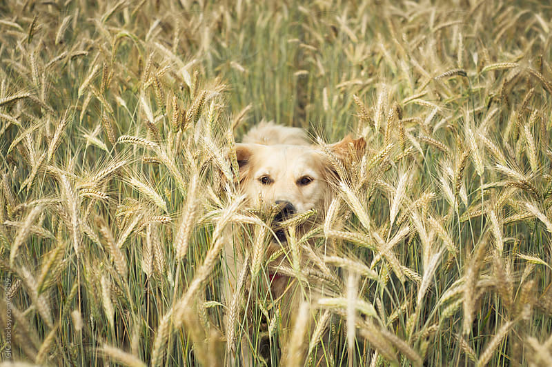 Dog running in a field by GIC for Stocksy United