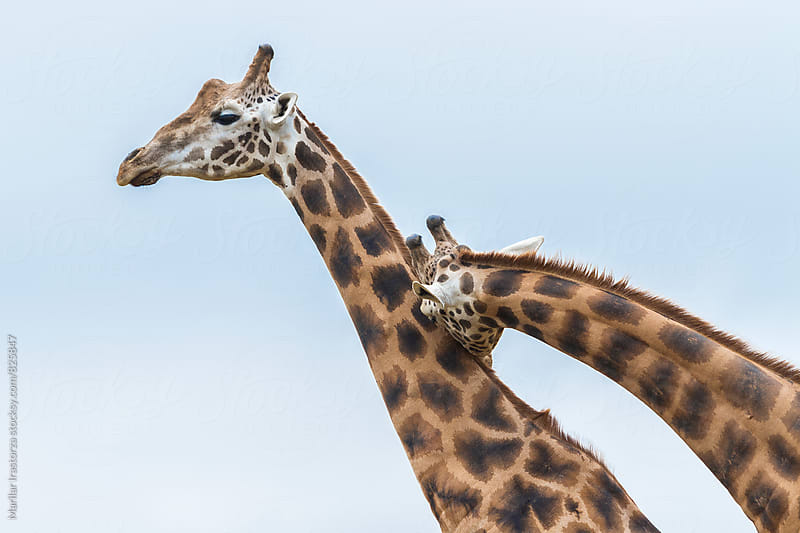 Two male giraffes   by Marilar Irastorza for Stocksy United