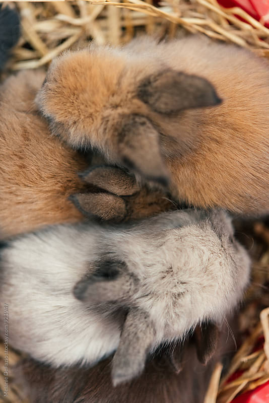 Baby Bunnies by Melanie DeFazio for Stocksy United