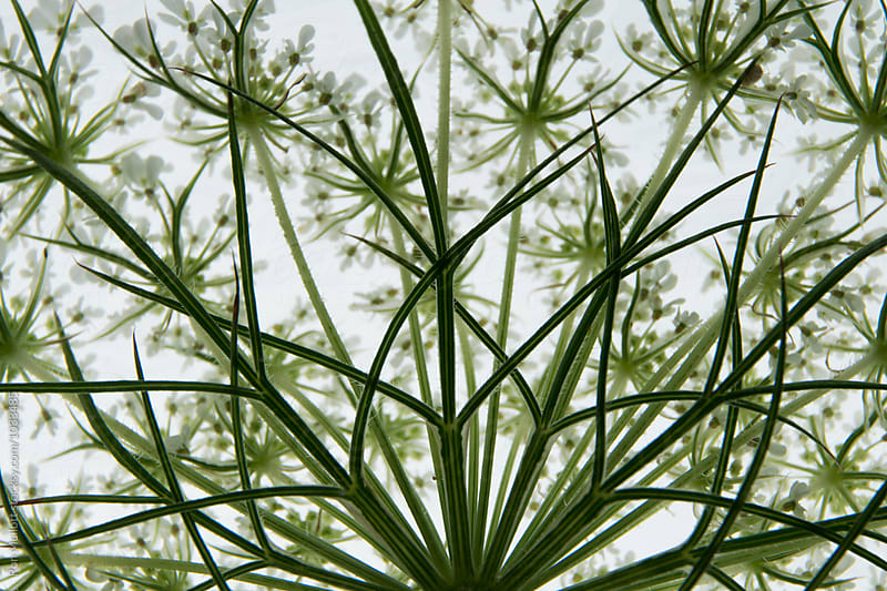 Closeup of the structure of bracts and florets in the wildflower Queen Annes Lace by Ron Mellott for Stocksy United