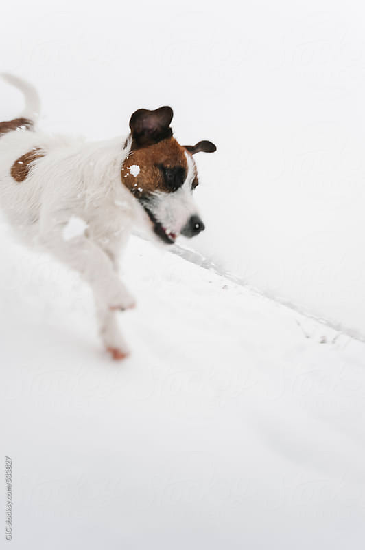 Happy Jack Russell dog in the snow by GIC for Stocksy United