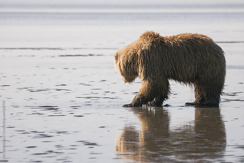 Brown Bear looking for mussels by Urs Siedentop & Co for Stocksy United