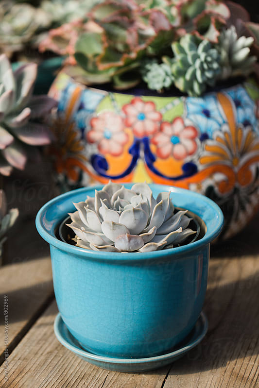 Succulent planted in a turquoise planter.  by Amy Covington for Stocksy United