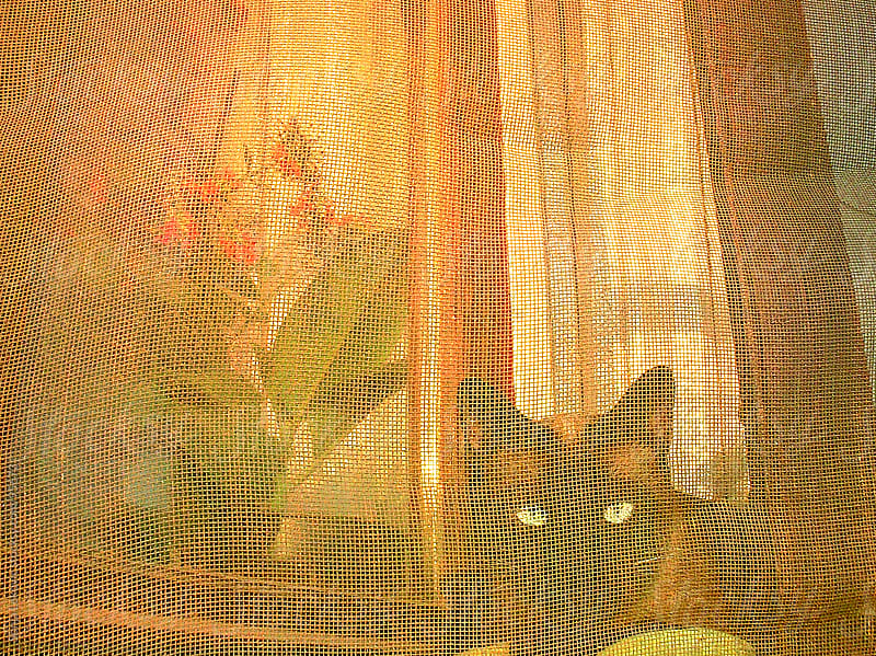 cat on a window behind a curtain by Sonja Lekovic for Stocksy United