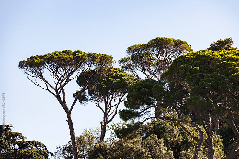 Umbrella pine, Rome, Italy by Mental Art + Design for Stocksy United