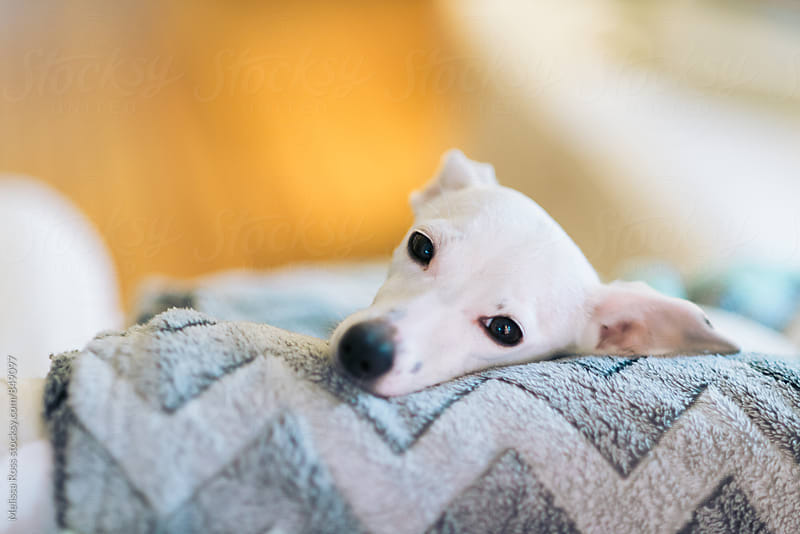 Close-up of a little white puppy or dog by Melissa Ross for Stocksy United