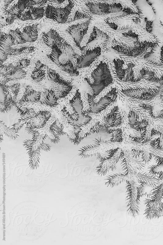 Snow covered pine branches in black and white by Jeremy and Alicia Brown Photography for Stocksy United