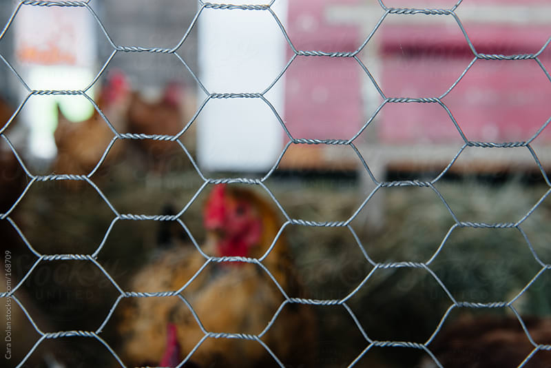 Barnyard fowl behind chicken wire by Cara Dolan for Stocksy United