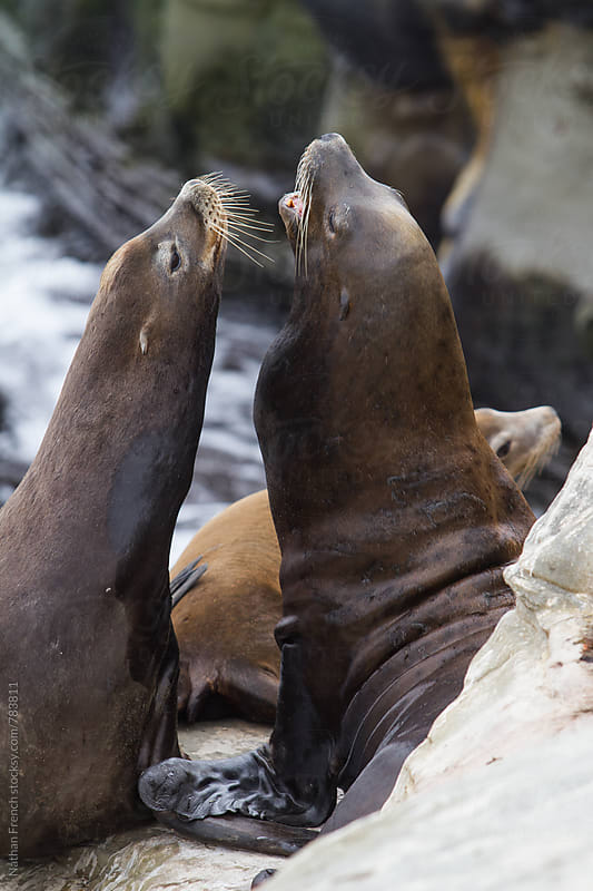 A pair of Sea Lions by Nathan French for Stocksy United