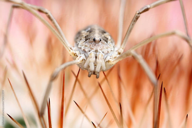 Harvestman spider on cactus by Marcel for Stocksy United