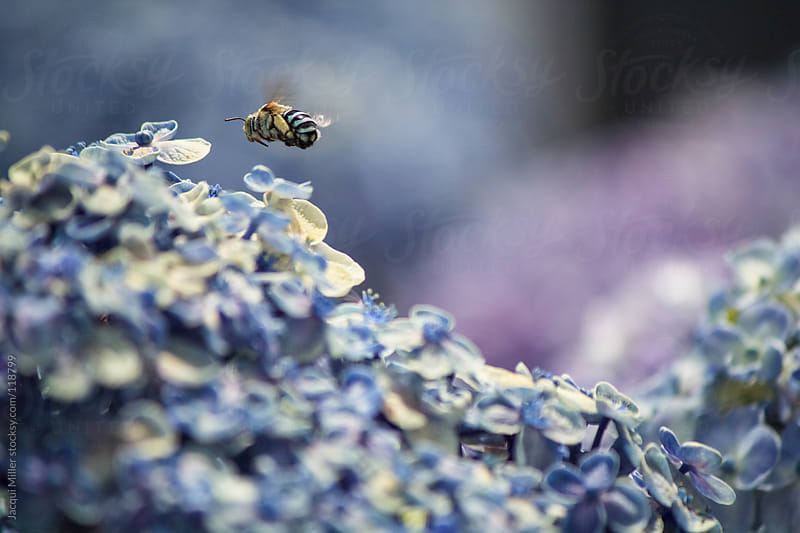 Blue Bee by Jacqui Miller for Stocksy United