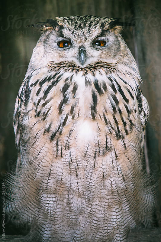 Siberian Eagle Owl by Micky Wiswedel for Stocksy United