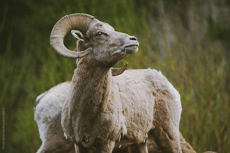 Proud Bighorn Sheep by Kevin Russ for Stocksy United