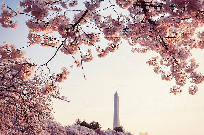 Cherry Blossoms Sunrise by Cameron Whitman for Stocksy United