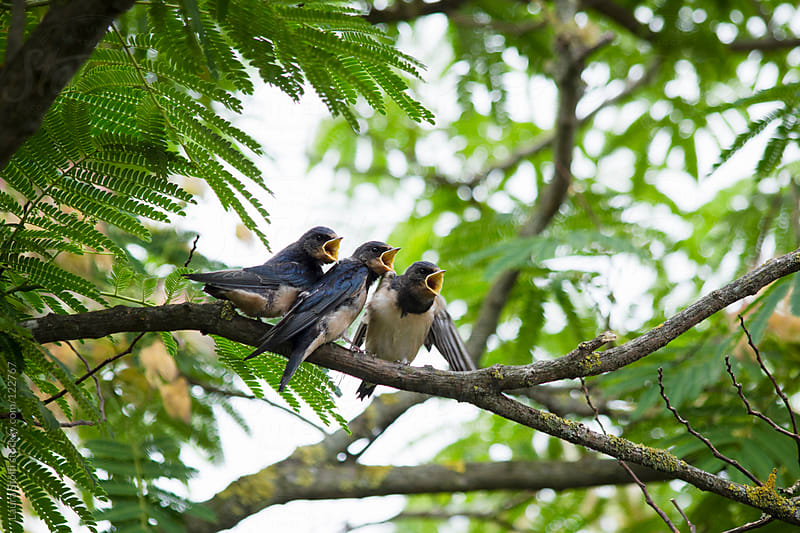 Young wild swallows perching on branch with beaks wide opened while waiting for food by Laura Stolfi for Stocksy United