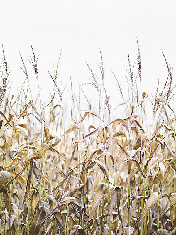 Field of dry maize plants to be harvested by rolfo for Stocksy United