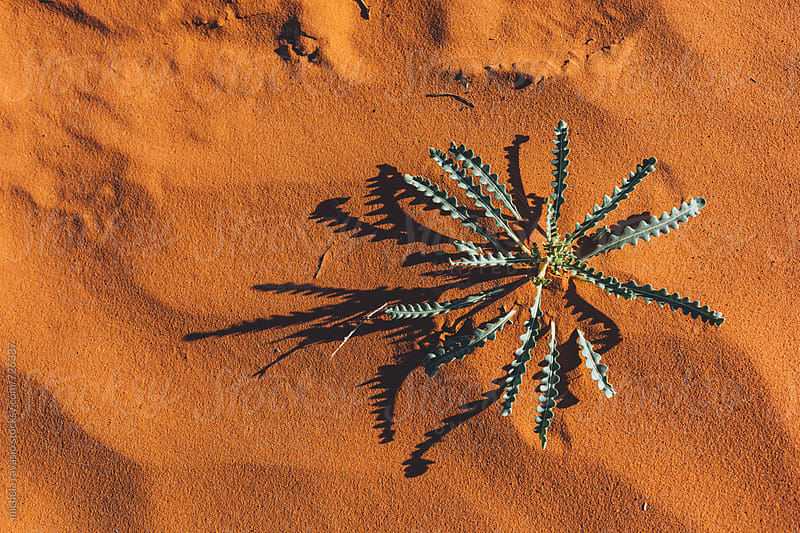 Plant in the sand in Monument Valley by michela ravasio for Stocksy United