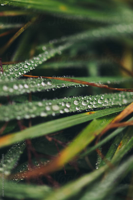 Dew drops on grass. by Javier Pardina for Stocksy United