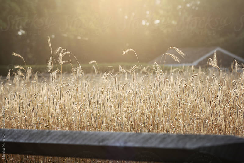 Field of wheat grasses at the golden hour by Monica Murphy for Stocksy United