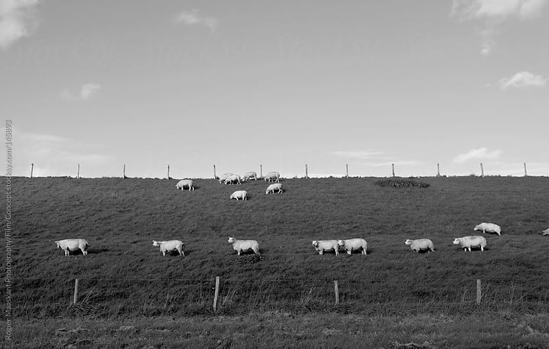 Sheep on a dike in the Netherlands by Rogier Maaskant Photography/Film/Concept for Stocksy United