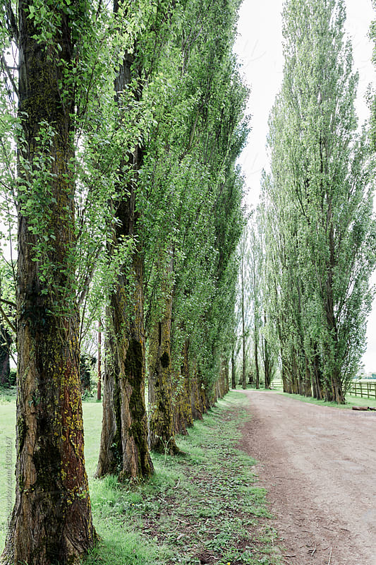 Avenue of tall trees along a farm track. by Paul Phillips for Stocksy United