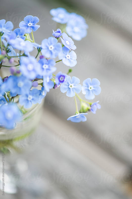Blue Forget-me-nots in a Vase  by Svanberggrath for Stocksy United