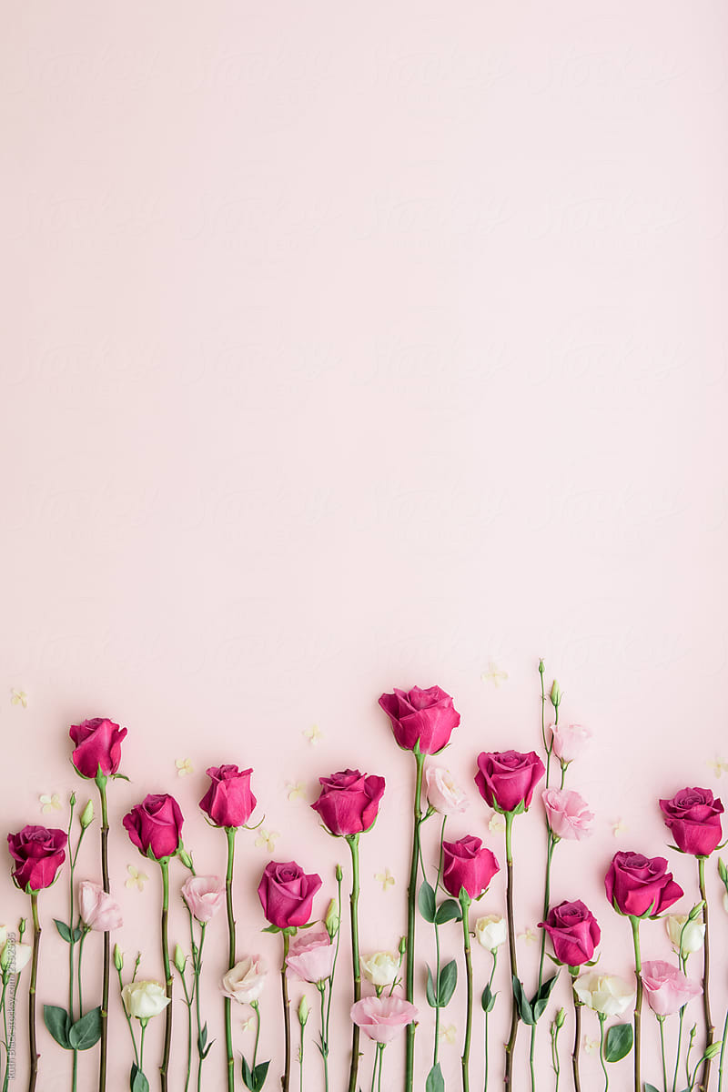 Pink Roses On A Pink Background By Ruth Black Rose Background Stocksy United