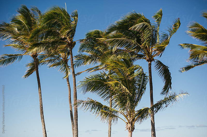 Palm Trees and blue sky in Oahu Hawaii by Daring Wanderer for Stocksy United