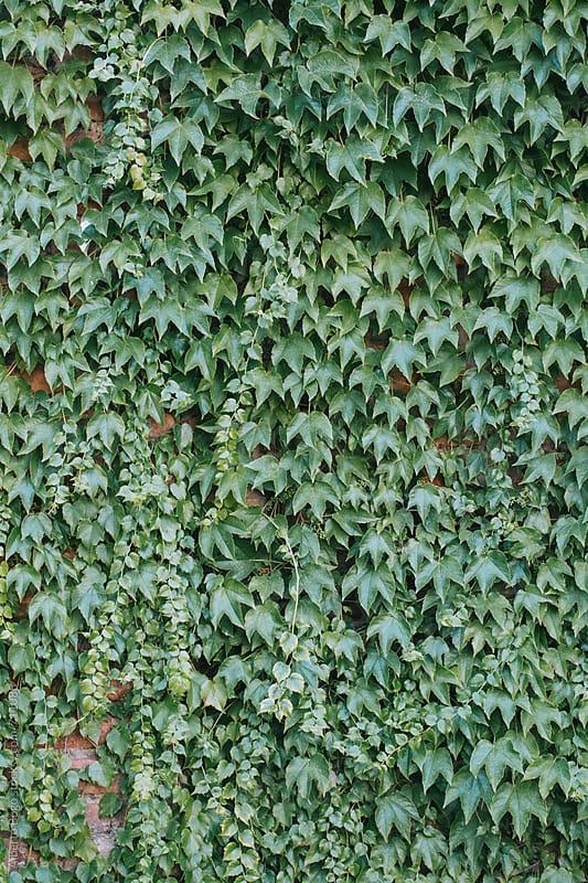 Blanket of ivy leaves by Alberto Bogo for Stocksy United
