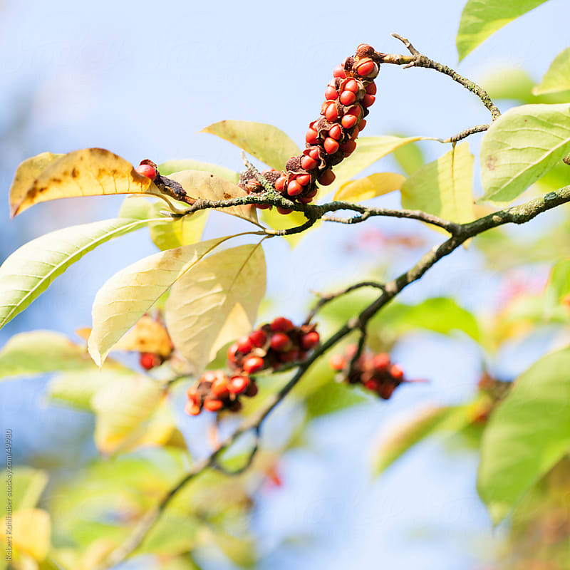 Red berries on a branch by Robert Kohlhuber for Stocksy United