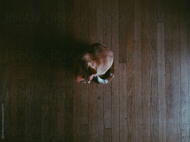 Cat on Dark Wood Floor by Kevin Russ for Stocksy United