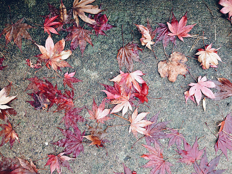 Fallen Red Maple leaves on a wet cement ground by Marta Locklear for Stocksy United