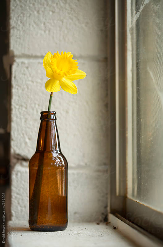 Spring daffodil in a beer bottle on a basement windowsill by David Smart for Stocksy United