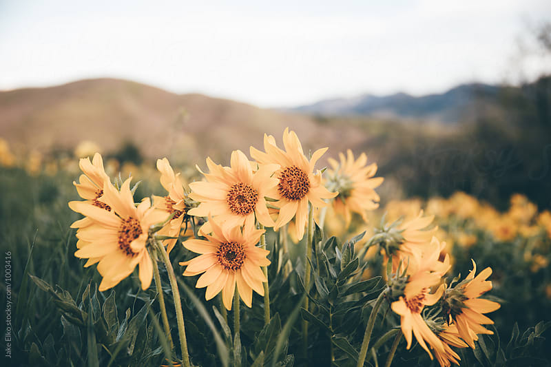 Beautiful Wildflowers in the Utah Mountains by Jake Elko for Stocksy United