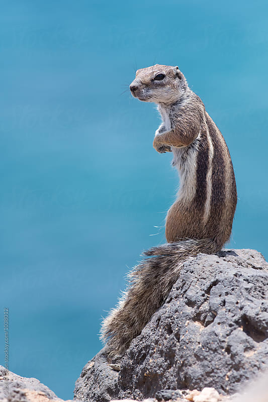 Barbary ground squirrel (Atlantoxerus getulus) by Gabriel Ozon for Stocksy United