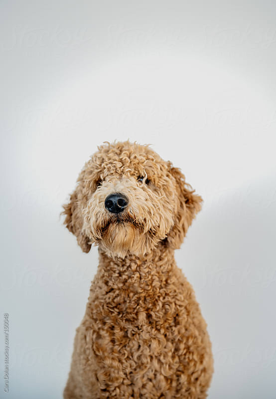 Goldendoodle sits for a portrait by Cara Dolan for Stocksy United