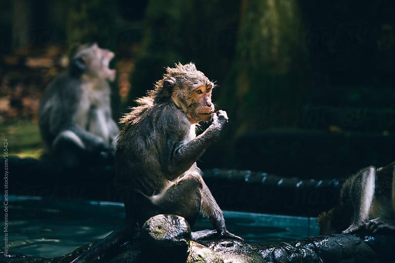 Monkeys taking a bath in a fountain in Sangeh, Bali, Indonesia. by Alejandro Moreno de Carlos for Stocksy United