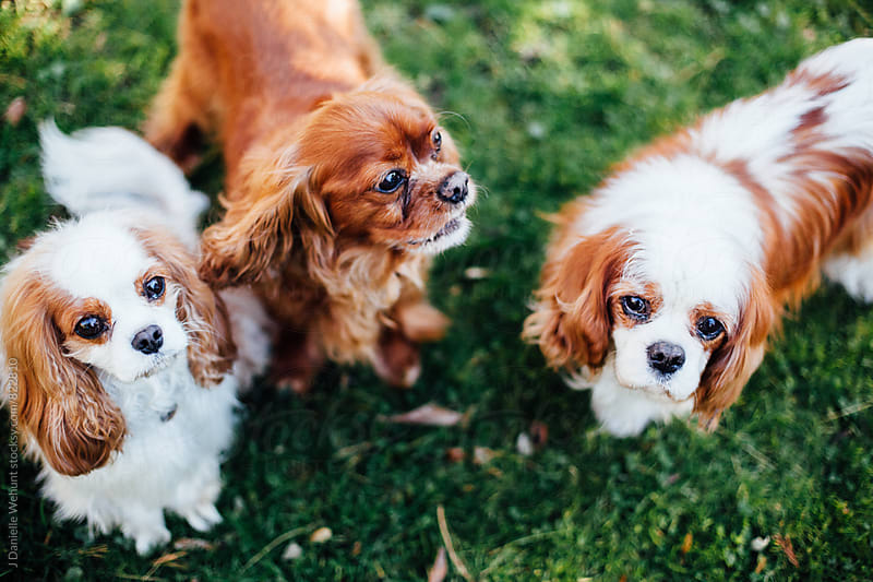 Three Cavalier King Charles Spaniels outside begging for treats. by J Danielle Wehunt for Stocksy United