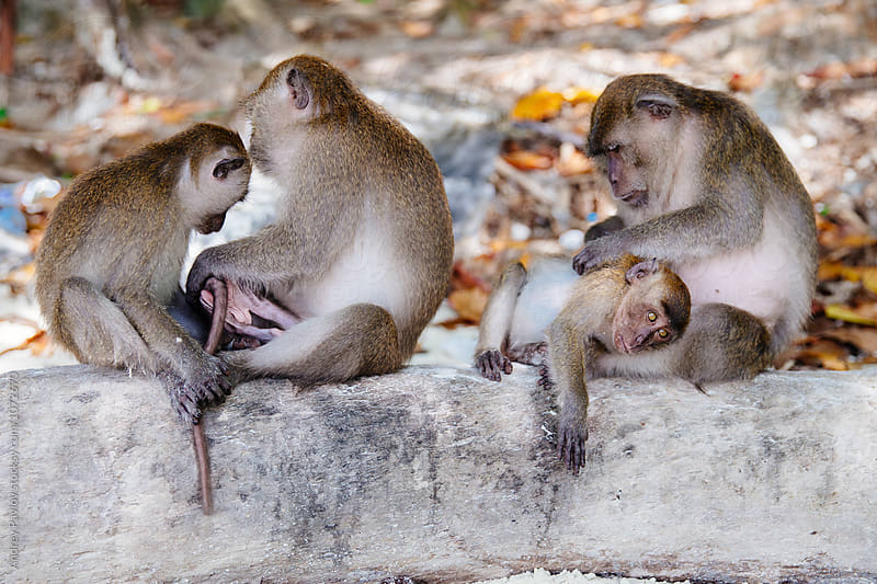 Wildlife of four monkeys on tree trunk by Andrey Pavlov for Stocksy United