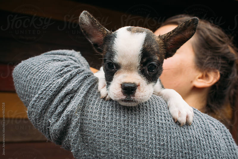 French bulldog puppy looking at the camera by Jovo Jovanovic for Stocksy United
